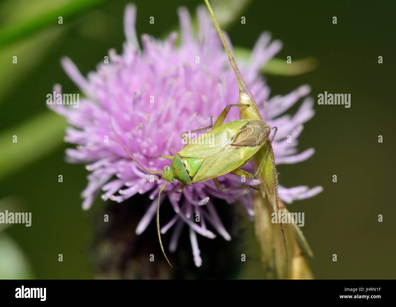 Potato Capsid Bug - Closterotomus norwegicus on Creeping Thistle - Cirsium arvense - Stock Image