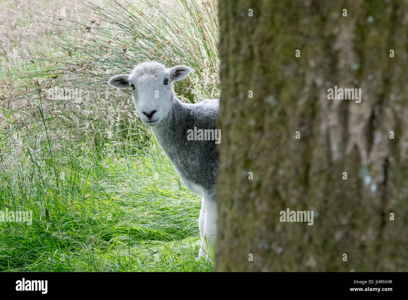 Herdwick sheep watching from behind a tree - Stock Image