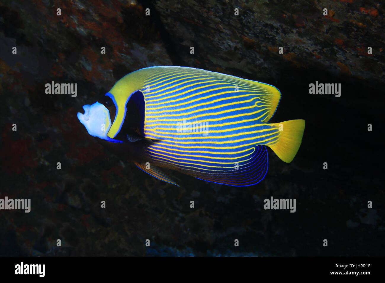 Emperor angelfish (Pomacanthus imperator) underwater in the indian ocean - Stock Image