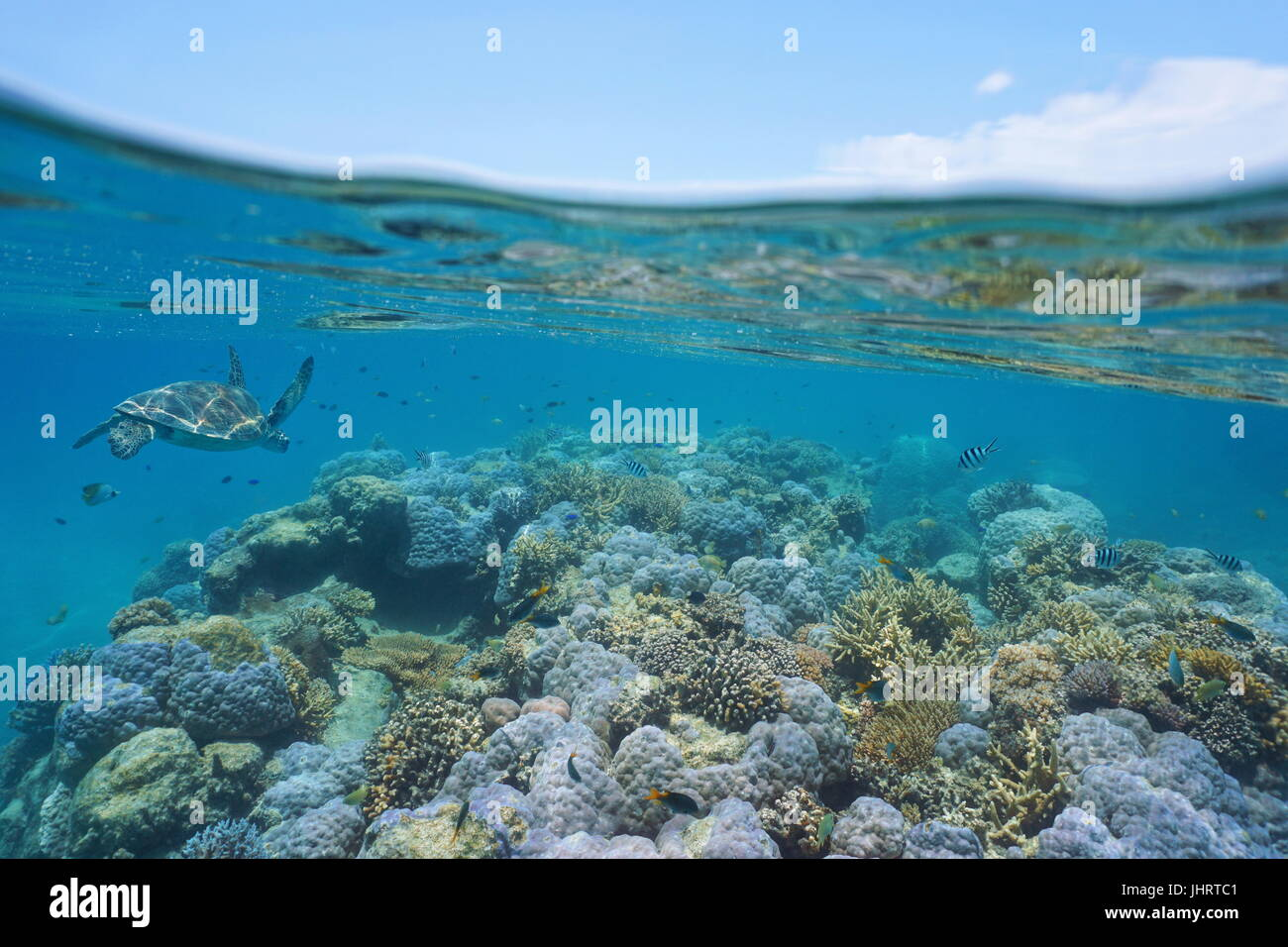 Shallow coral reef with a green sea turtle and fishes underwater, New Caledonia, south Pacific ocean - Stock Image
