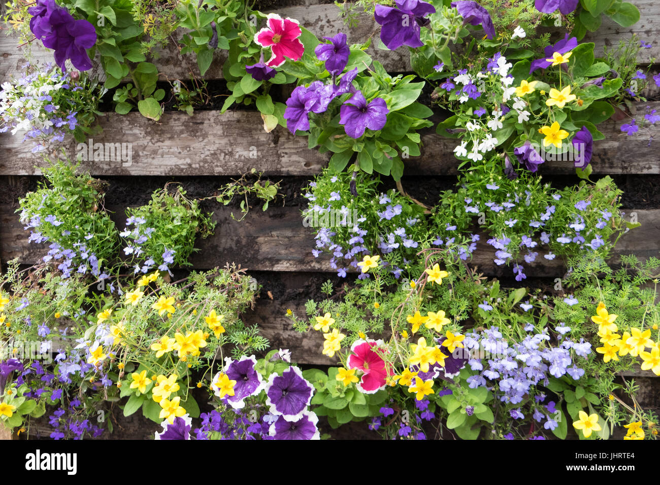 Trailing plants grown in recycled pallet container - Stock Image