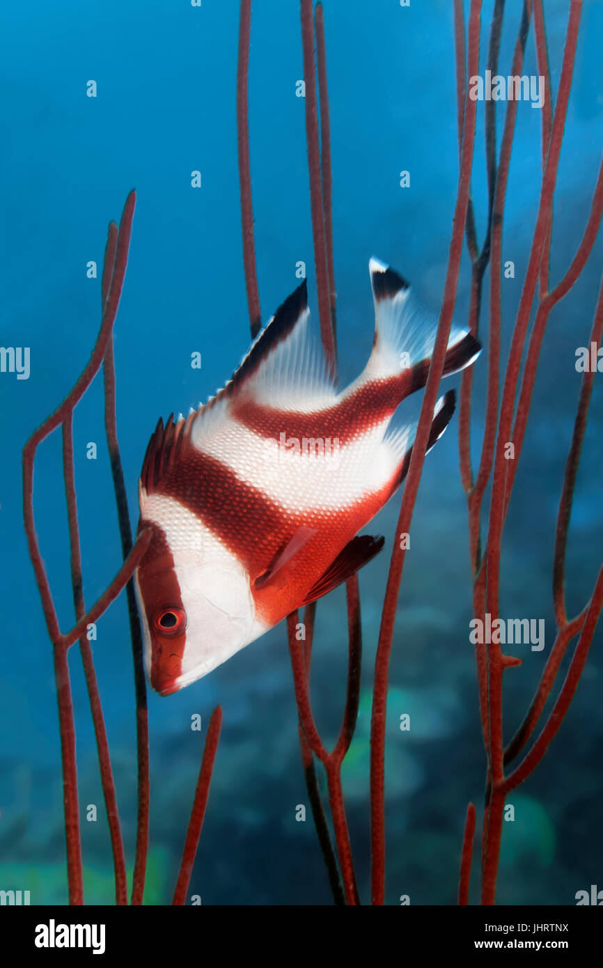 Emperor red snapper (Lutjanus sebae) seeking shelter amongst coral, Palawan, Mimaropa, Sulu Lake, Pacific Ocean, Stock Photo