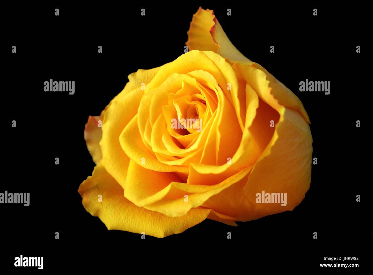 Single blossom of a yellow rose, Einzelne Bluete einer gelben Rose - Stock Image