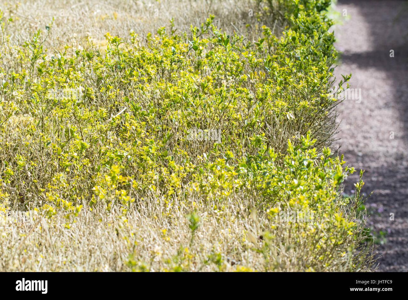 box blight - cylindrocladiumn buxicola - Stock Image