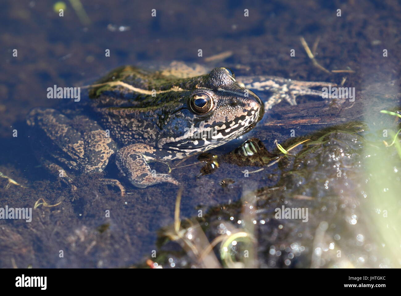 Marsh Frog in pool at Ham Wall, RSPB - Stock Image