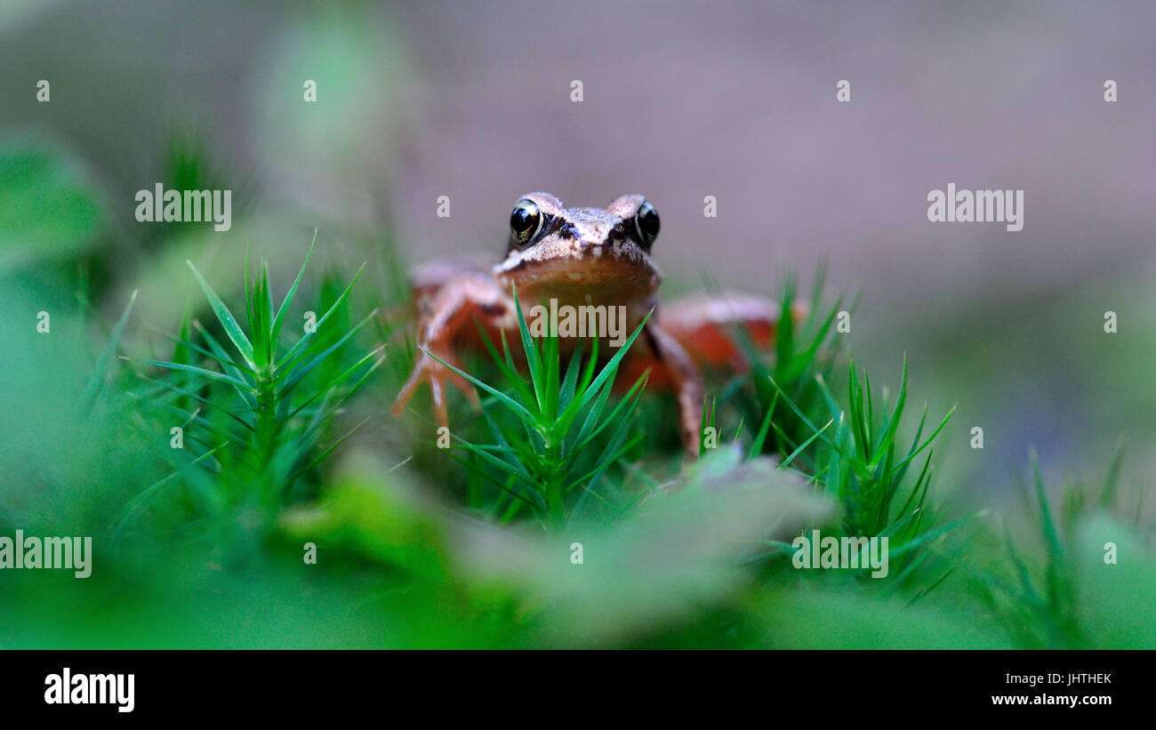 young tiny little Agile frog (rana dalmatina) with big eyes and green moss - Stock Image