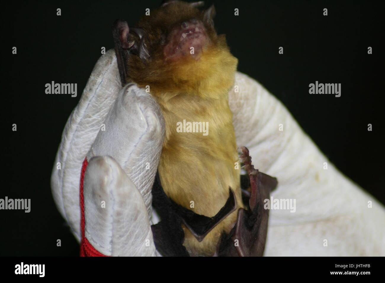 greenish yellow bat, african bat, Scotophilus viridis, s. viridis - Stock Image