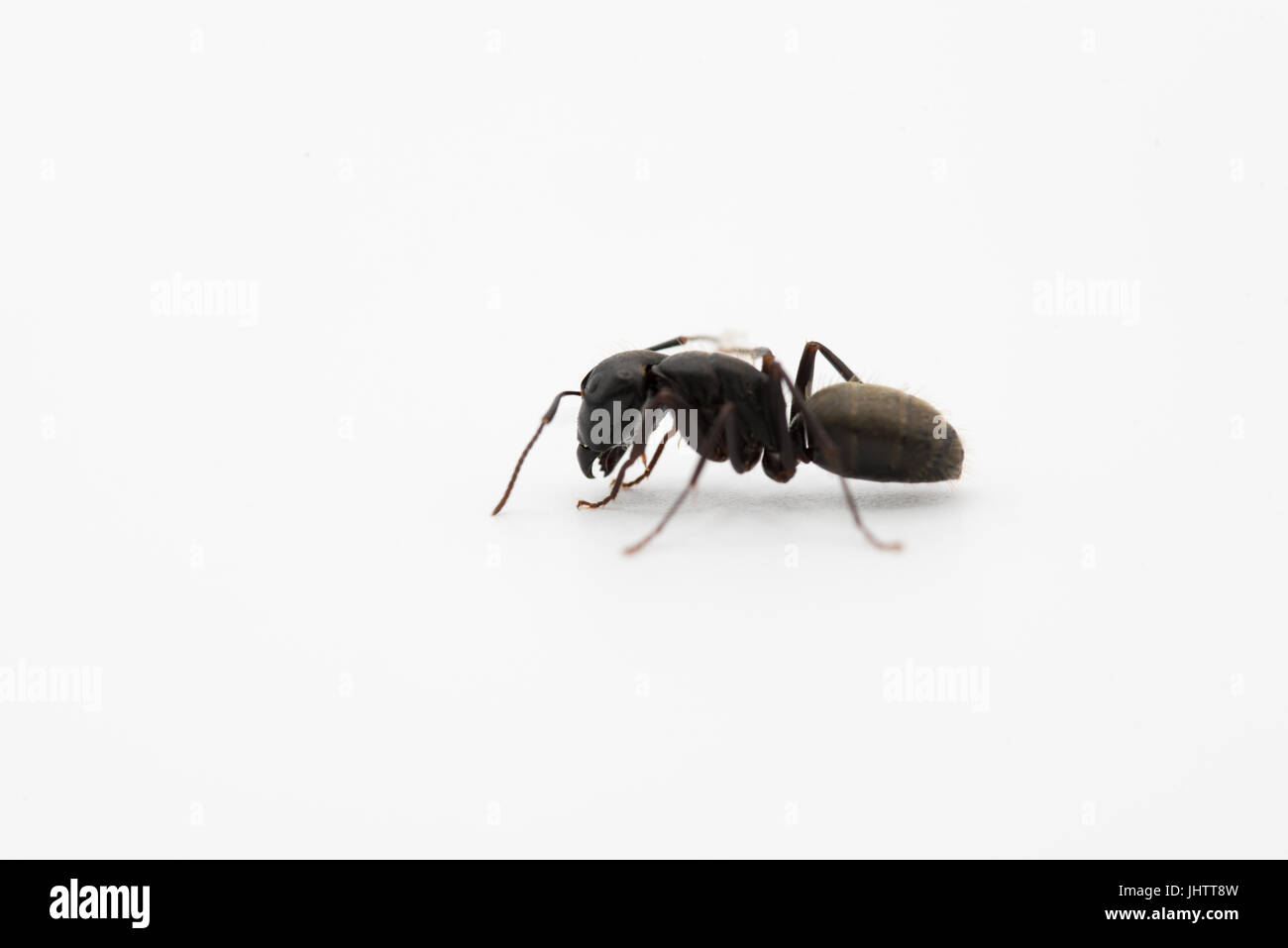 Close up side view of a wingless sterile black female worker ant on white with copy space - Stock Image