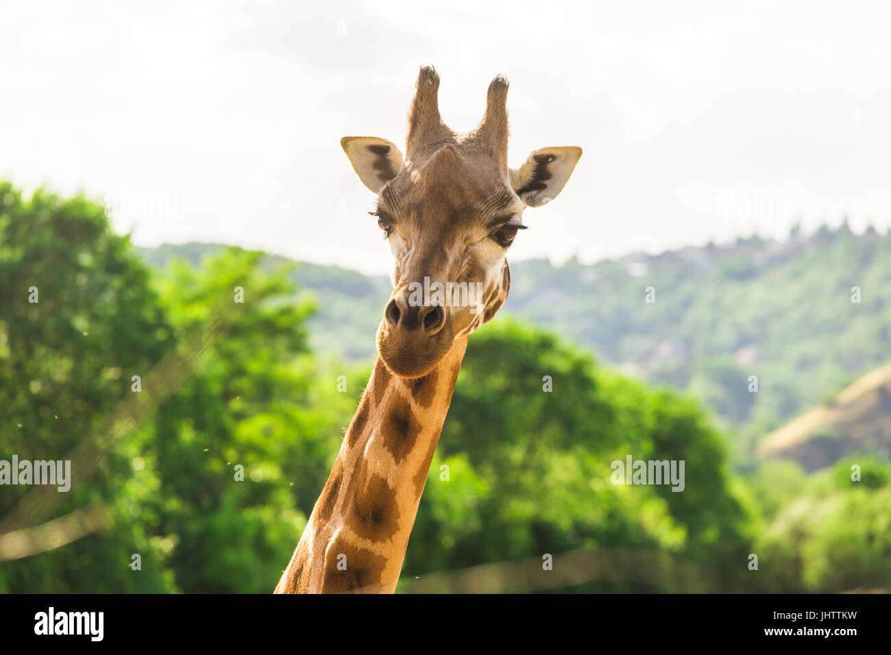 Close-up of a giraffe in front of some green trees. With space for text. - Stock Image