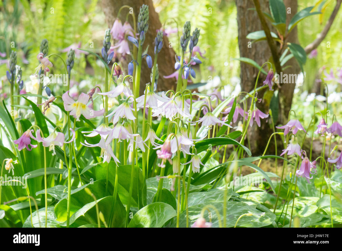woodland plants in spring - erythronium revolutum - dog's tooth violets and bluebells - Stock Image