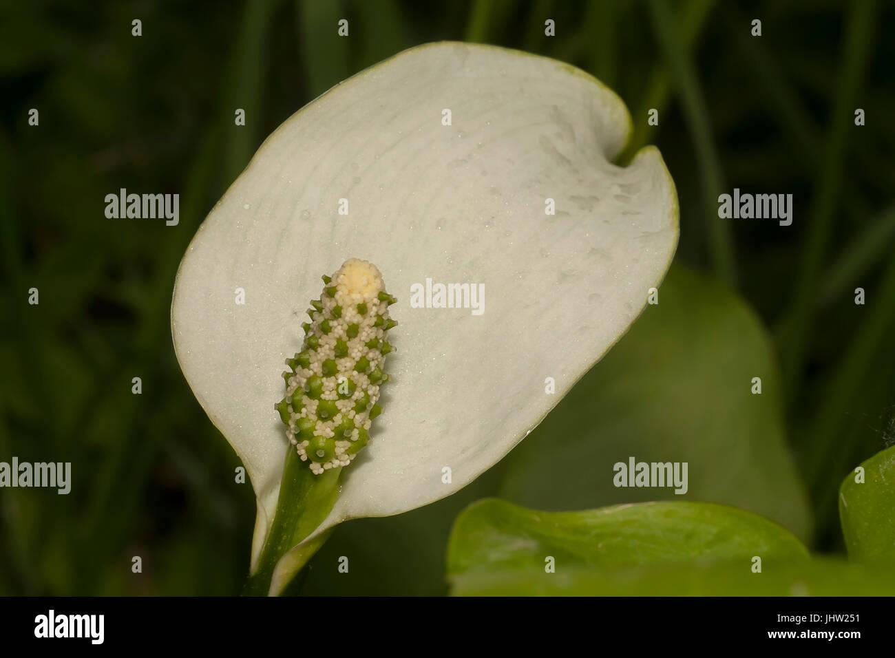 flower of calla palustris (bog arum) Stock Photo