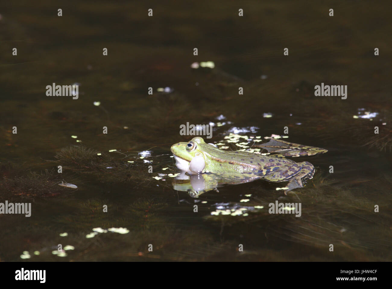 Green frog, possibly Pool frog (Pelophylax lessonae) or Edible frog (Pelophylax kl. esculentus) - Stock Image