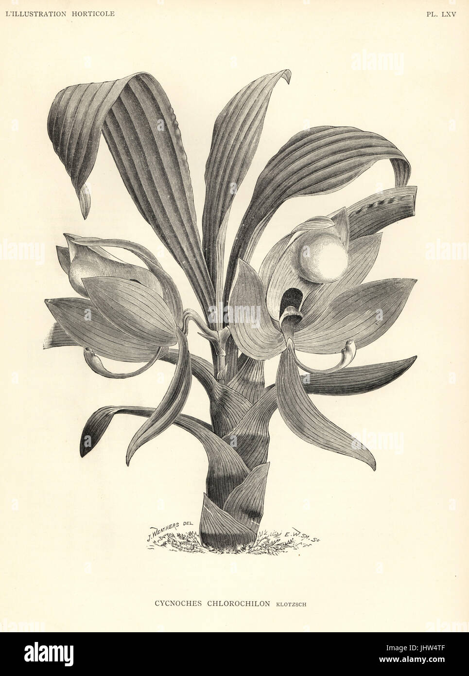 Cycnoches chlorochilon orchid. Woodcut by E.W. Smith after an illustration by J. Weathers from Jean Linden's - Stock Image