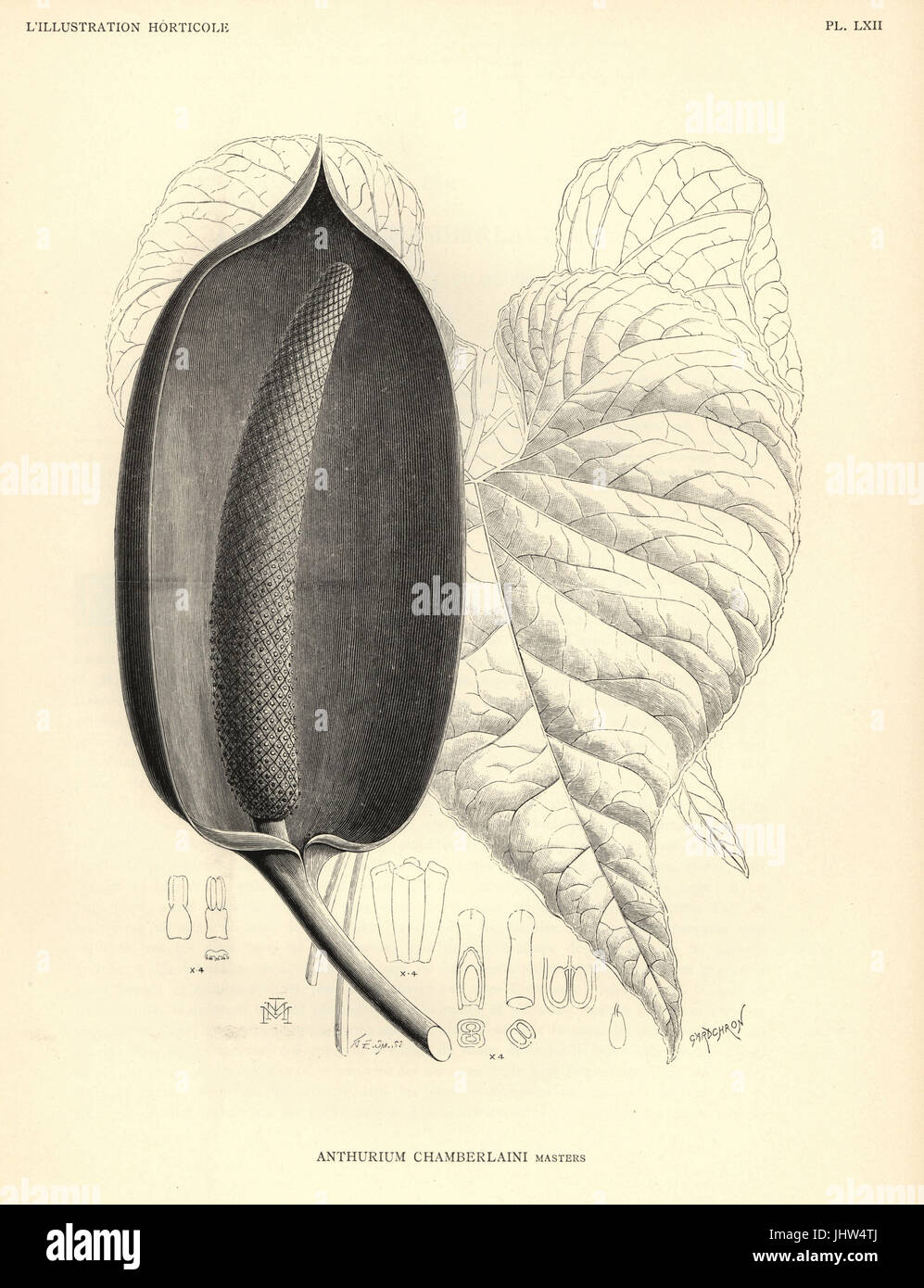 Flamingo flower, Anthurium chamberlainii. Woodcut by Gardchron after an illustration by G. E. Smith from Jean Linden's - Stock Image