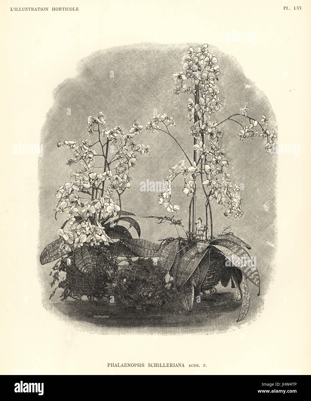 Phalaenopsis schilleriana orchid. Woodcut by Gardchron after an illustration by W.J. Welch from Jean Linden's - Stock Image