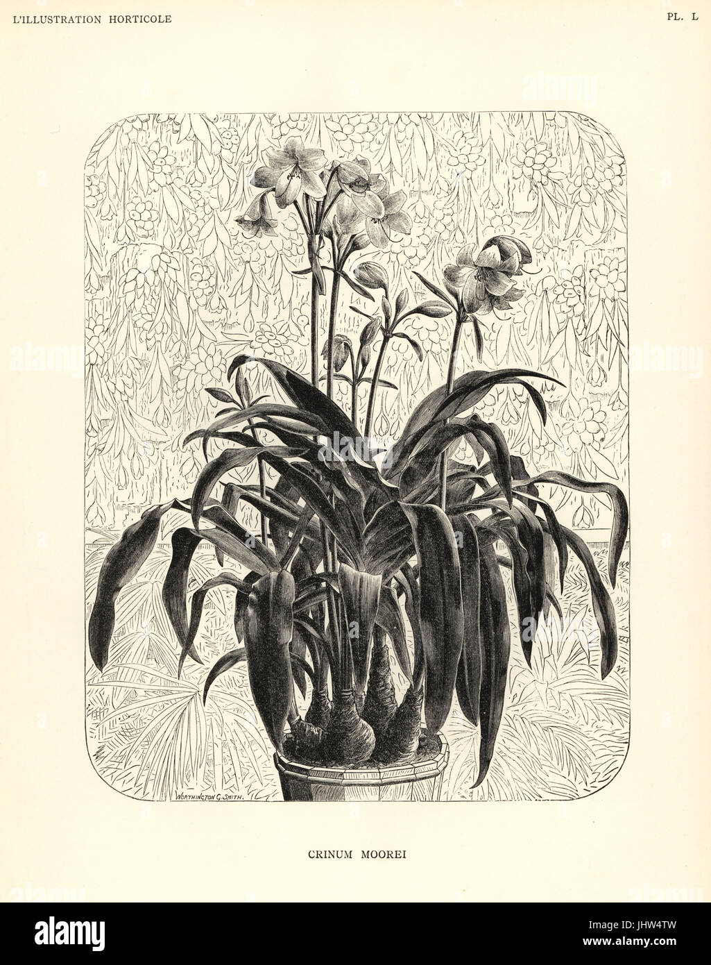 Moore's crinum, Crinum moorei. Woodcut after an illustration by Worthington G. Smith from Jean Linden's - Stock Image