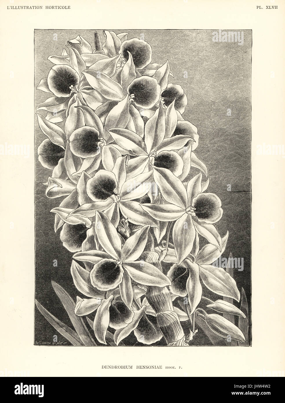 Dendrobium bensoniae orchid. Woodcut after an illustration from nature by Worthington G. Smith from Jean Linden's - Stock Image