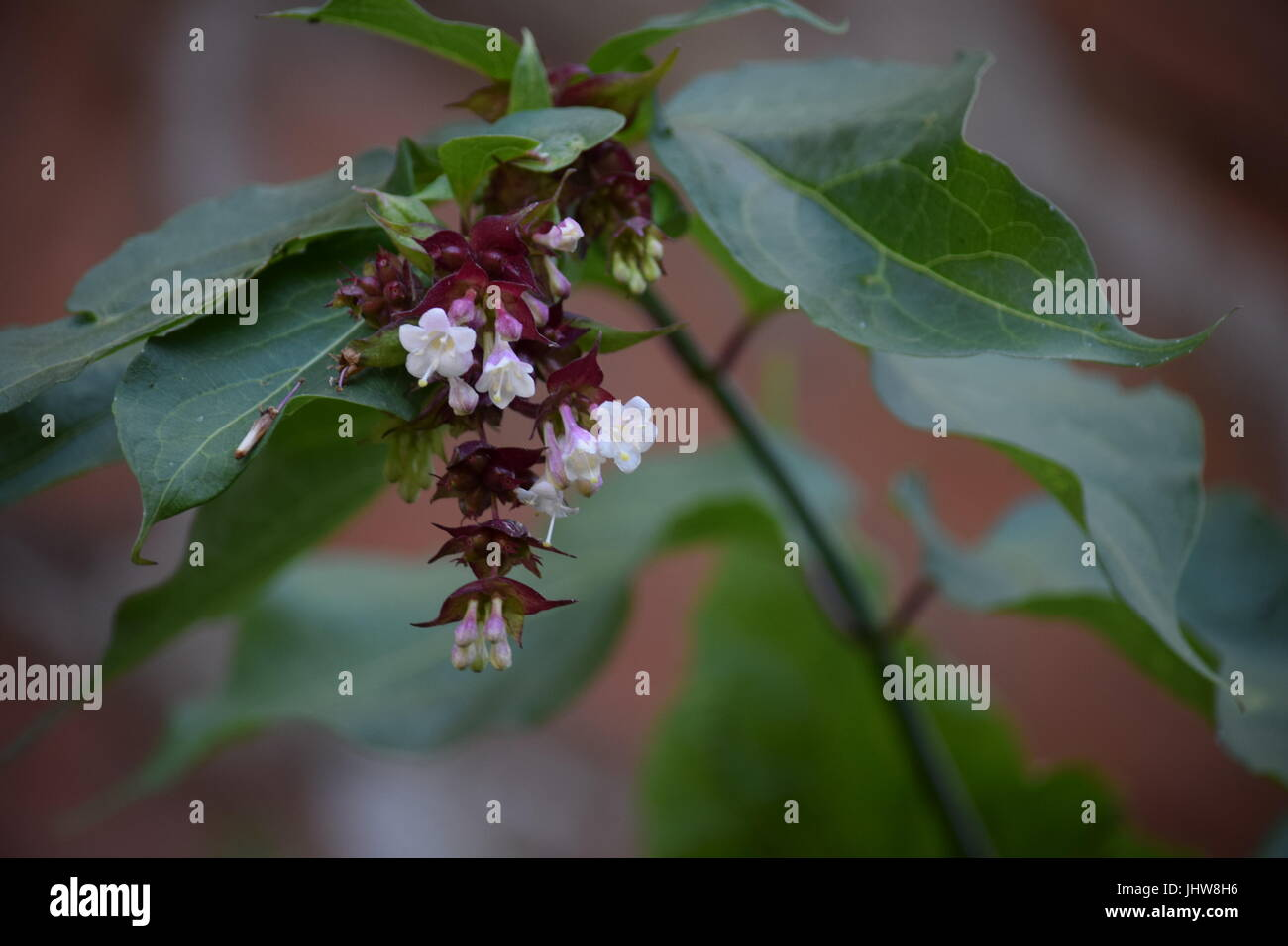 Himalayan mountain balm, flowers - Stock Image