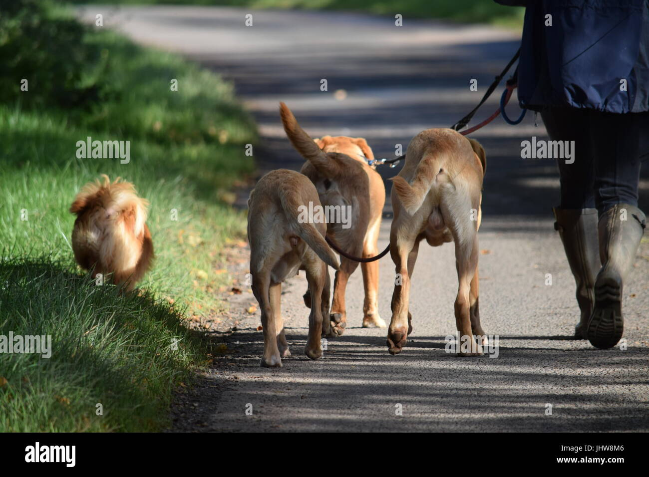 Walking the dog - Stock Image