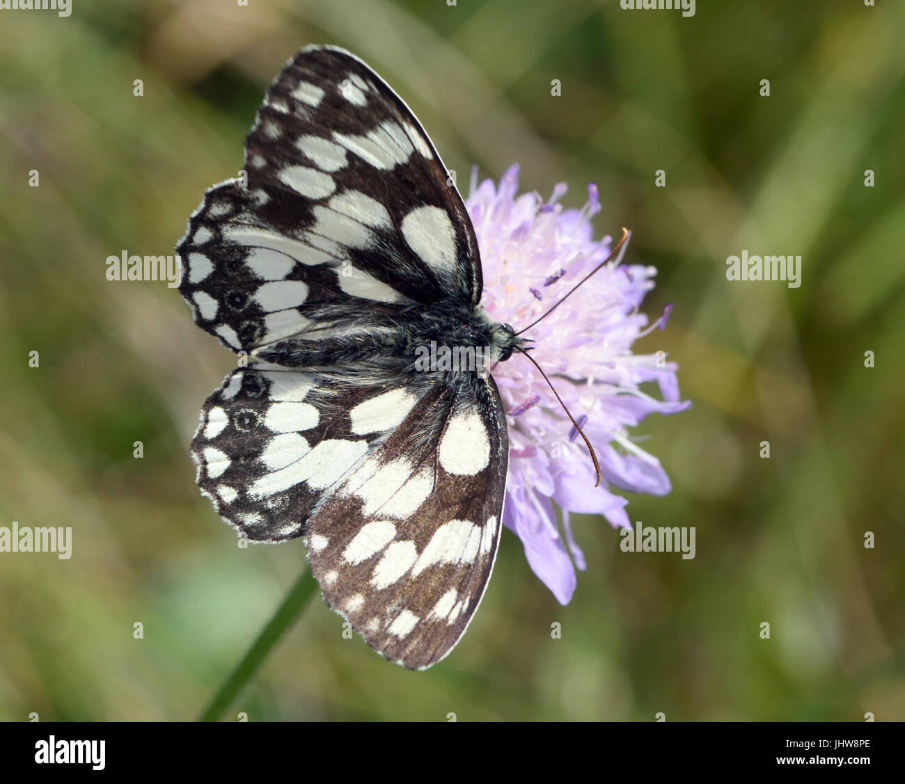 A black and white marbled white butterfly (Melanargia galathea) with open wings takes nectar from a Field Scabious - Stock Image