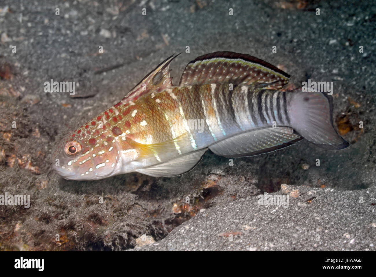 Banded Goby, also known as  White-barred goby, Amblygobius phalaena. Pemuteran, Bali, Indonesia. Bali Sea, Indian - Stock Image