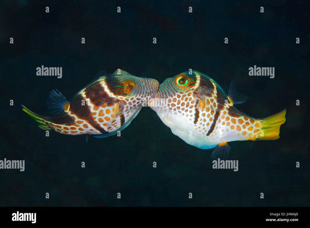 Valentines Puffer, also known as Valentines Sharp Nosed Puffer and Black-Saddled Toby, Canthigaster valentini. Two - Stock Image