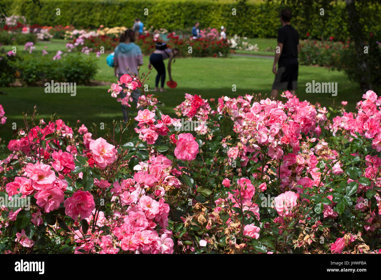 Large Lush Display Of Rose Bushes In Bloom Flowers Park In Late