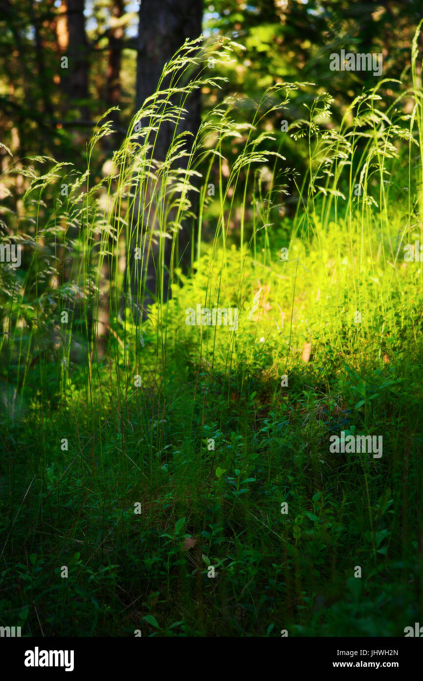 Forest undergrowth vegetation. Grass growing on herbaceous layer of understory or underbrush on forest glade. Selective - Stock Image