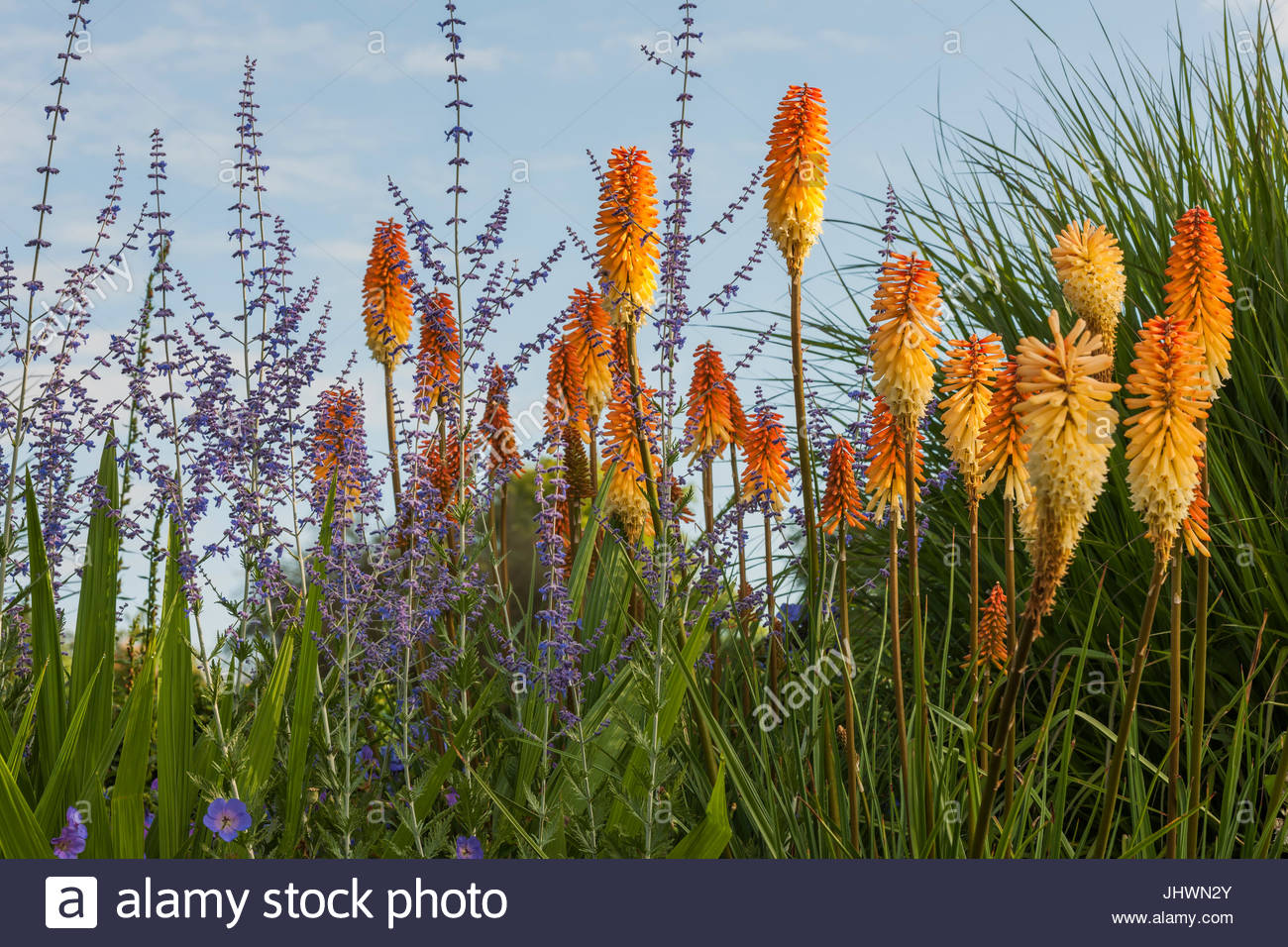Kniphofia 'Rich Echoes' with Perovskia - Stock Image