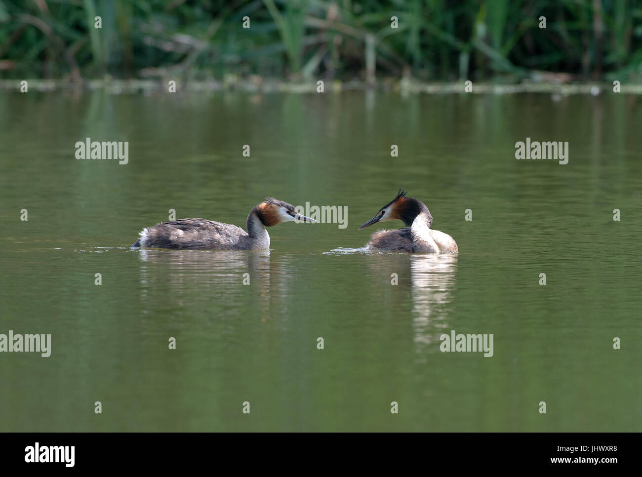 Pair of Great Crested Grebes-Podiceps cristatus. Uk - Stock Image