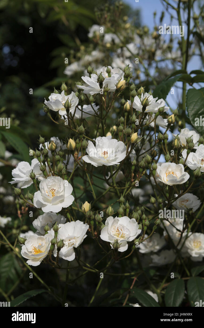 Small white roses in bloom - Stock Image