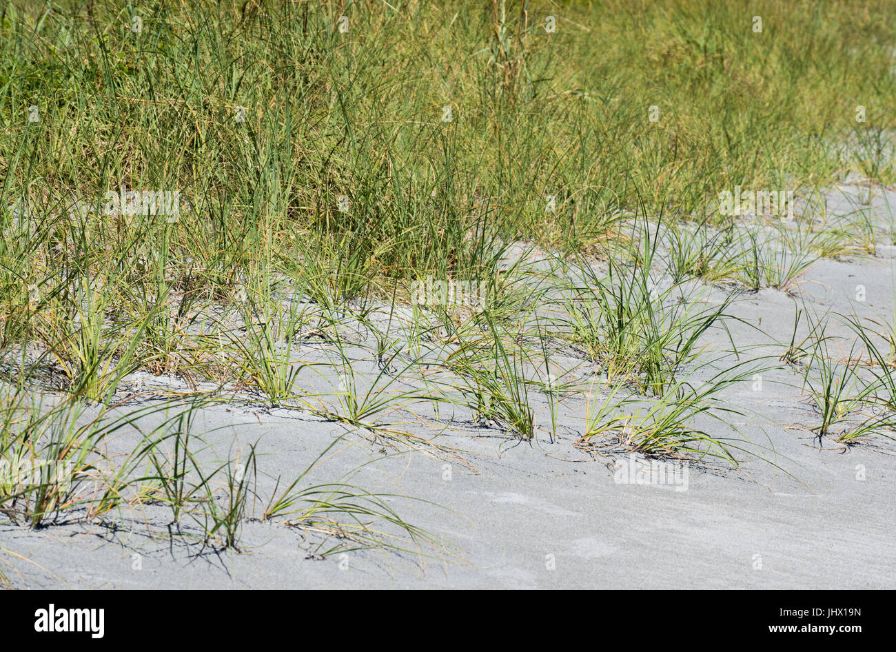 dune grasses and vegetation on a Florida beach - Stock Image