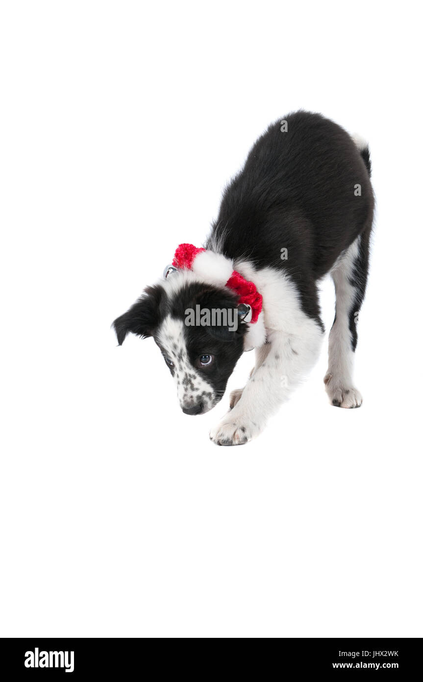 Black and White Border Collie Puppy with red and white Holiday collar isolated on white. - Stock Image