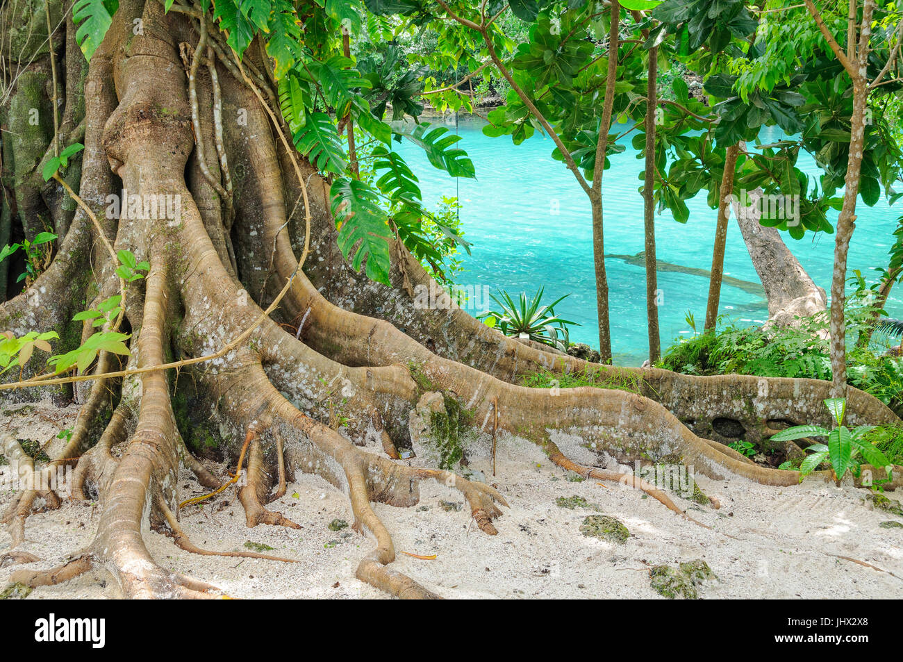 Giant roots at the Blue Lagoon - Efate Island, Vanuatu - Stock Image