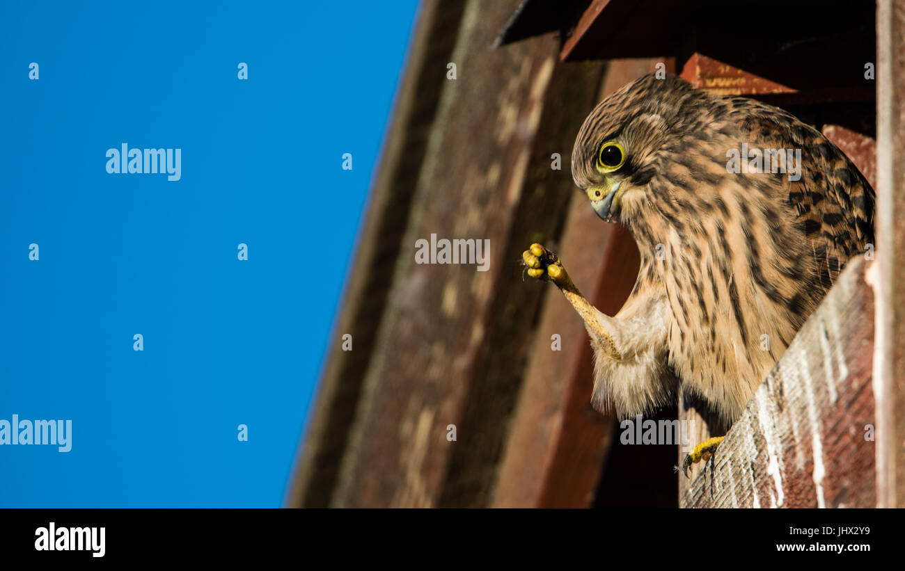 Look how I can hide my claws, seems the you nestling euopean kestrel think perching in the nest box on the barn. - Stock Image