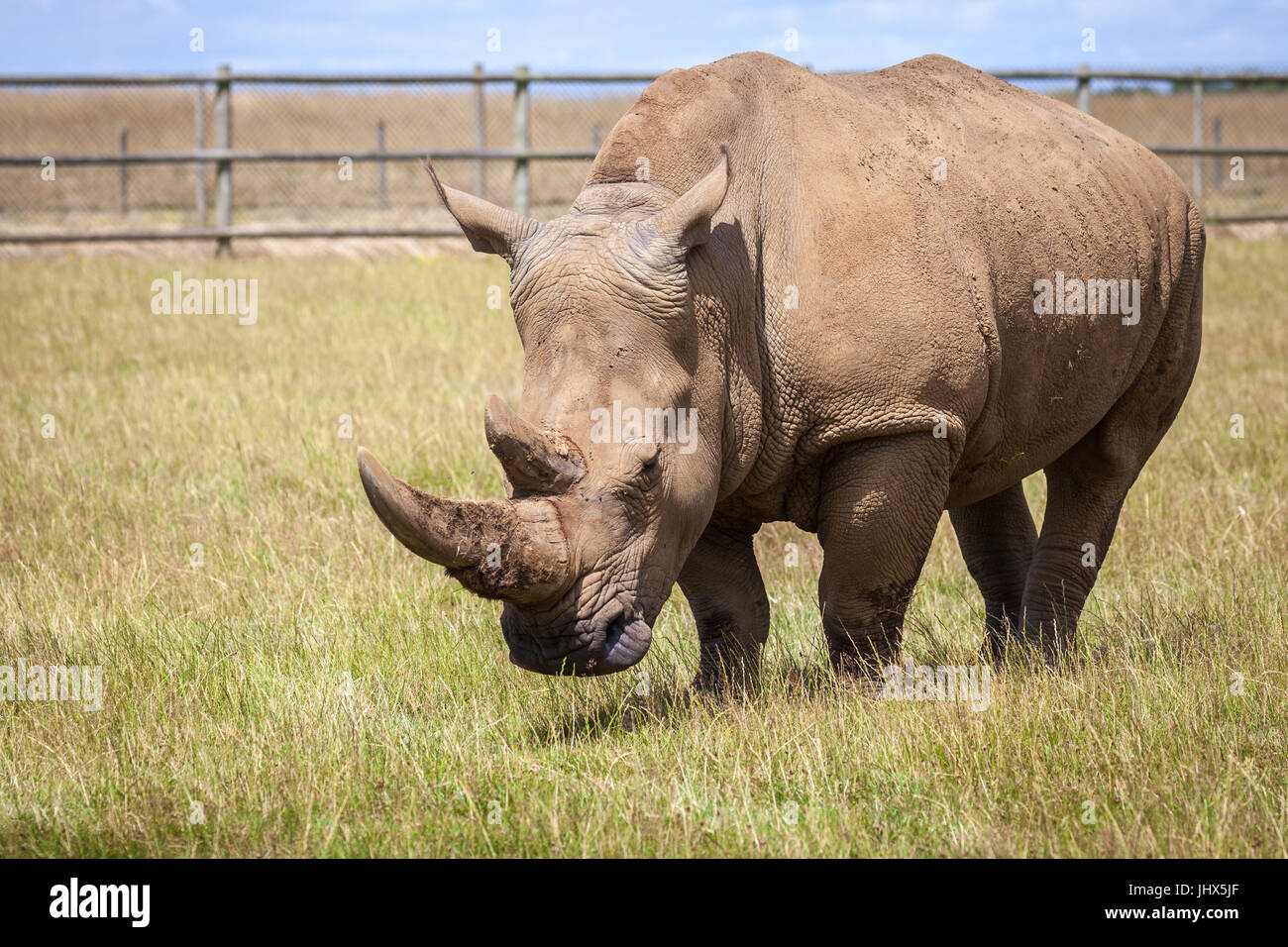 Woburn Safari Rhinoceros - Stock Image
