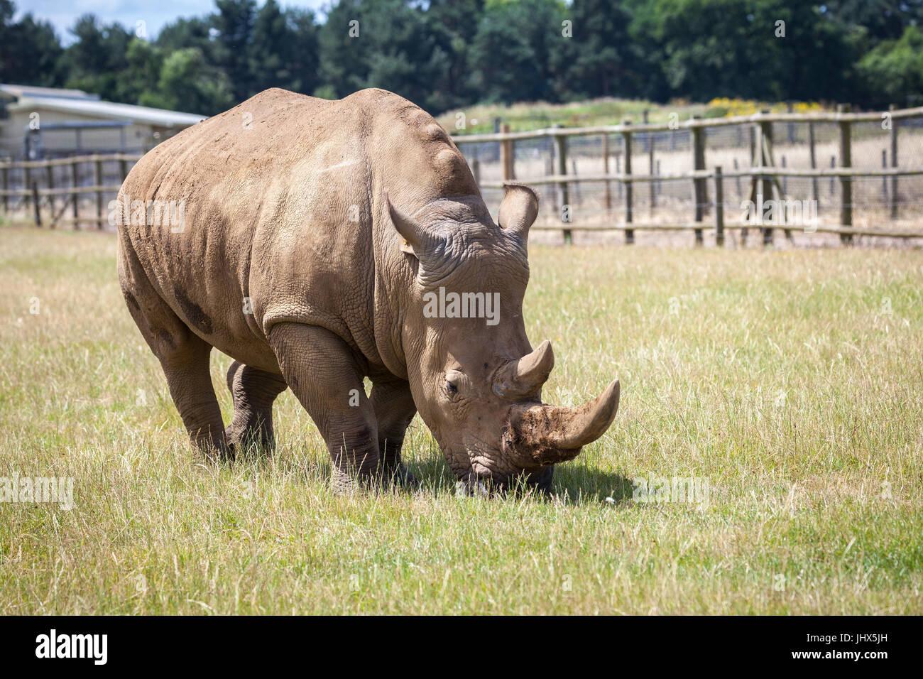 Woburn Safari Rhinoceros - Stock Image