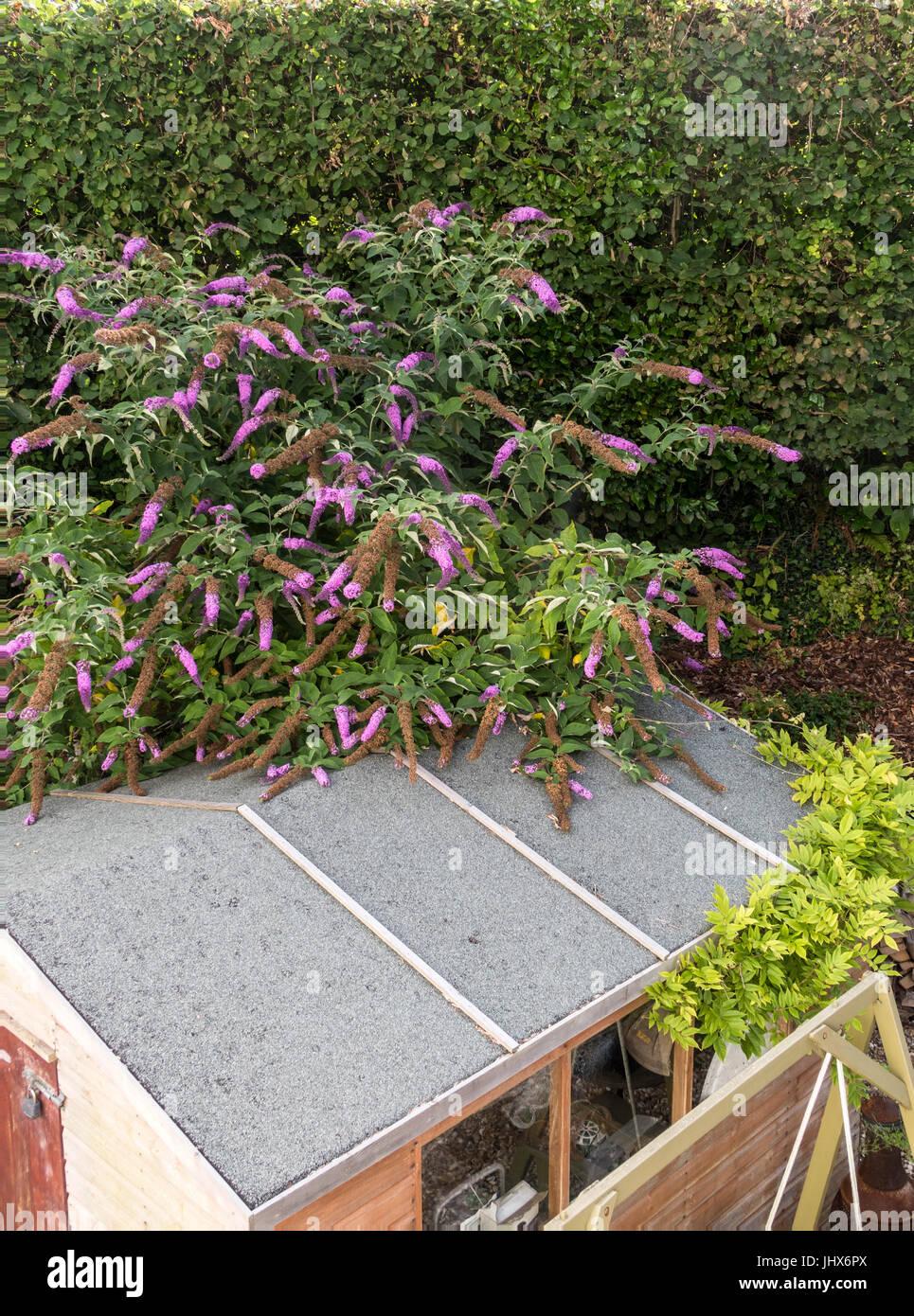 Large Buddleia davidii, common Buddleia, overgrown and overtaking a garden shed.Buddleja. - Stock Image