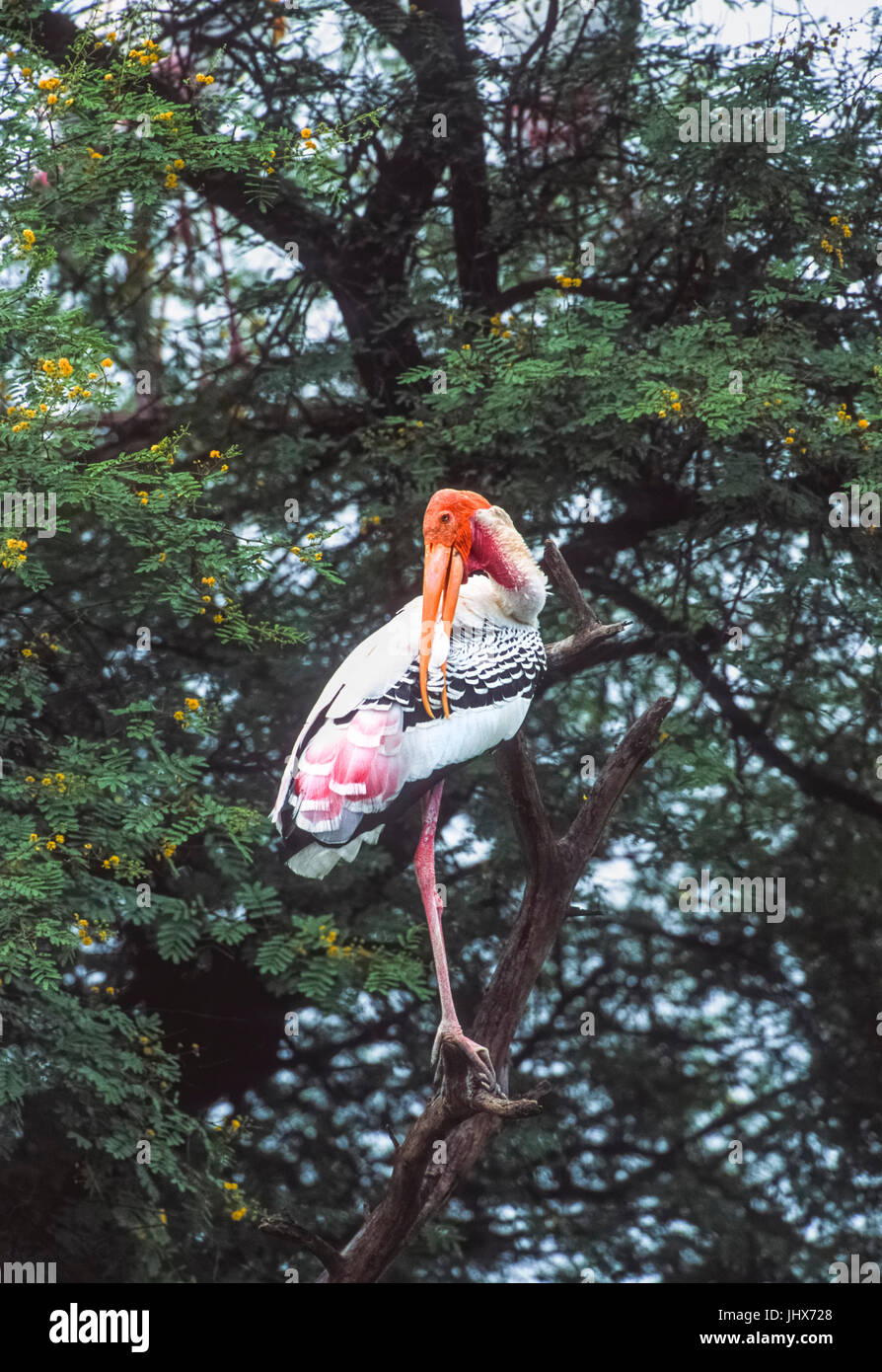 Painted Stork, (Mycteria leucocephala), Keoladeo Ghana National Park, Bharatpur, Rajasthan, India - Stock Image