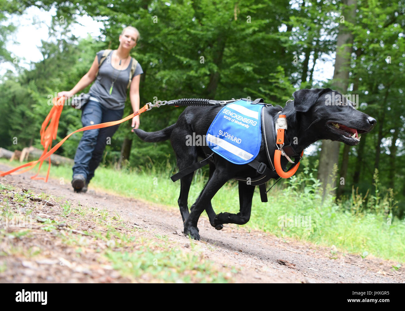 Gelnhausen, Germany. 23rd June, 2017. Labrador 'Maple' is being trained by Laura Hollerbach, research assistant - Stock Image