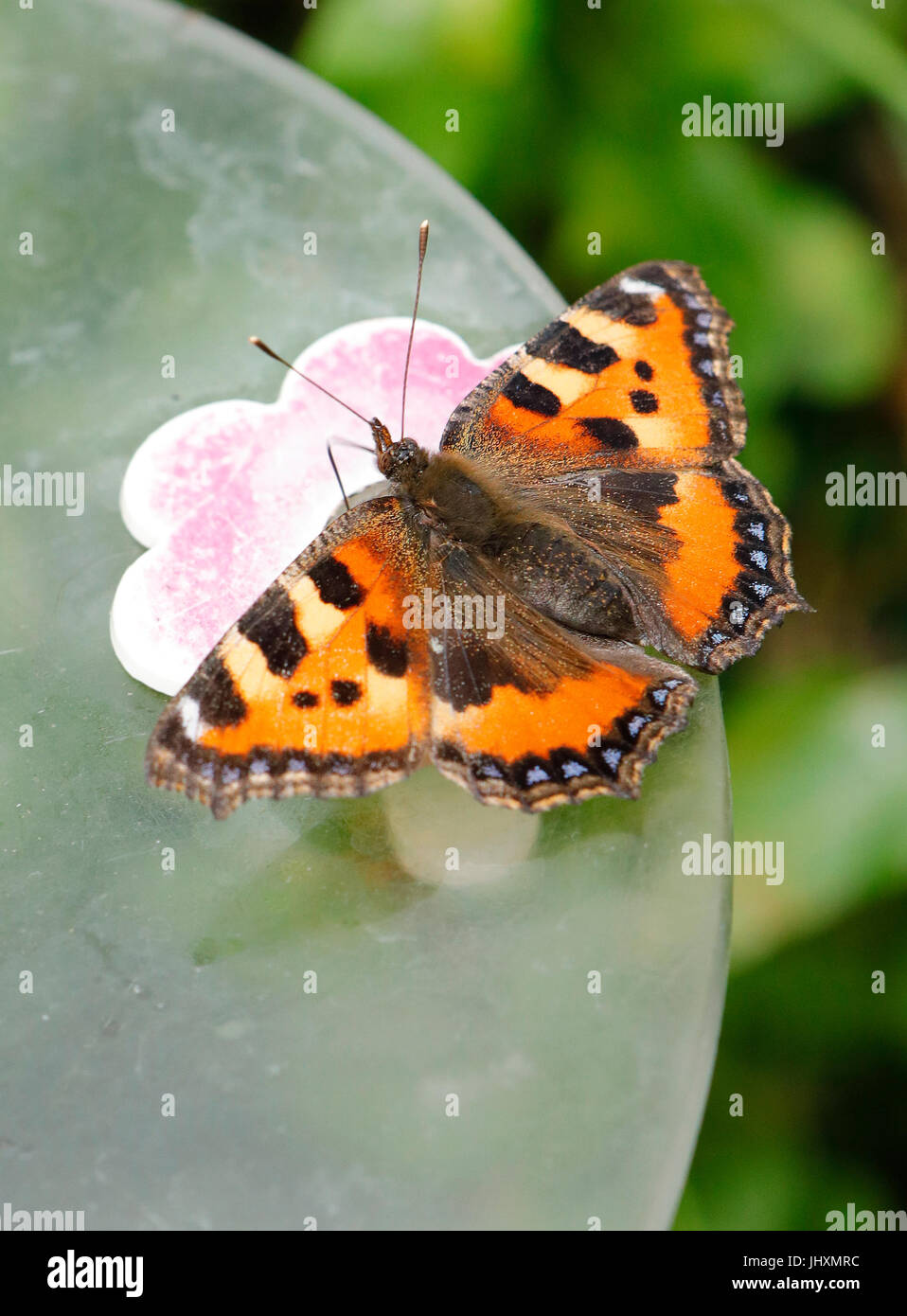 Small Tortoiseshell Butterfly .Aglais urticae - Stock Image