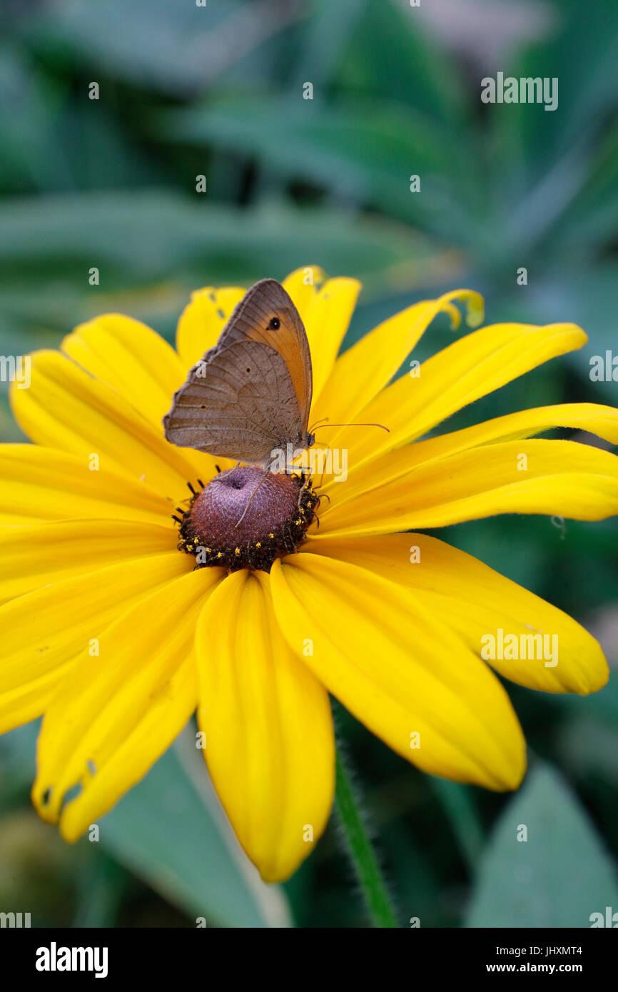 Meadow Brown ( Maniola jurtina) butterfly - Stock Image