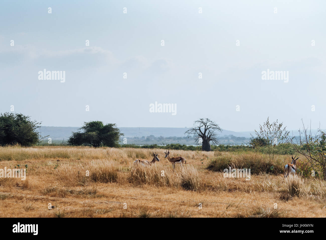 Antelope graze at a resort in the Bengo Province of Angola. - Stock Image