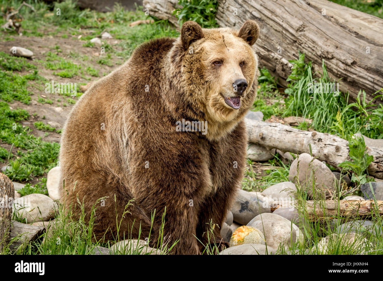 A captive grizzly bear in Montana is sitting by rocks. - Stock Image