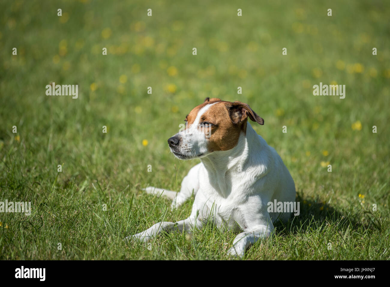 Danish Swedish Farmdog resting on a lawn. This breed, which originates from Denmark and southern Sweden is lively - Stock Image