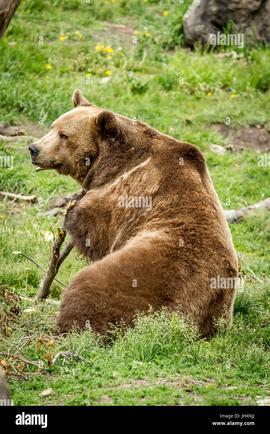A captive grizzly bear is being playful with a stick near Bozeman, Montana. - Stock Image
