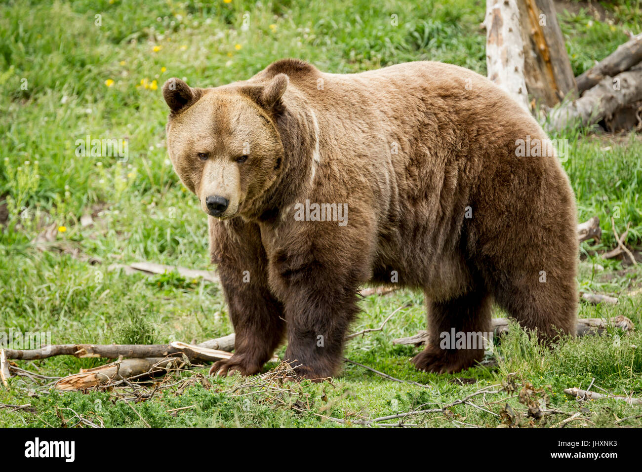 A sideview of a captive grizzly bear in Montana. - Stock Image