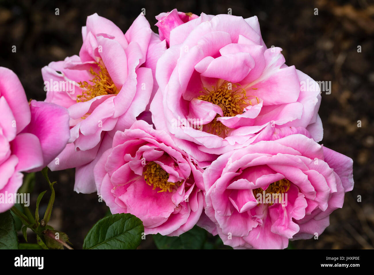 Cluster of pink, semi-double flowers of the hybrid tea rose, Rosa 'Pink Favourite' - Stock Image