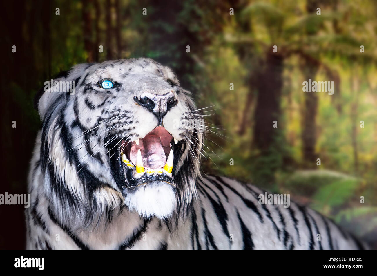 the white tiger growls. big canines. doff - Stock Image