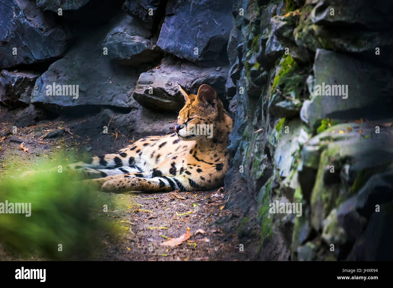 Ocelot is a carnivorous mammal of the cat family that live in America Stock Photo